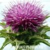 Το γαϊδουράγκαθο : ένα βότανο χρήσιμο στις χημειοθεραπείες