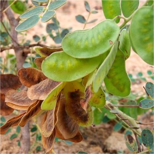 Φύλλα Αιγύπτου